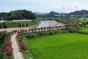[보성] 보성강변 배롱나무 꽃길, 관광객을 유혹하다