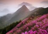 [창원] 천주산 진달래축제...4월 6일부터 용지봉 주변 일대 진달래 군락 장관