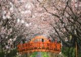진해 군항제...세계 최대 규모 벚꽃축제, 4월1일부터 10일까지 개최