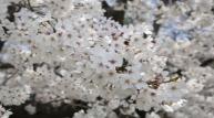[서울대공원] 4월의 식물로 왕벚나무 선정...13일 유튜브 통해 벚꽃영상 공개