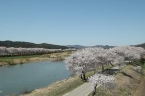 [보은군] 보청천변 벚꽃길, 만개한 벚꽃 연분홍 물결
